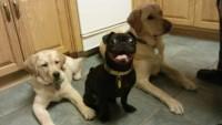 Mutlu Köpekler