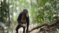 Şempanzelerde Tanrı İnancına Rastlandı!