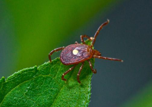Tüm Dünyanın Konuştuğu Böcek! LoneStarTick