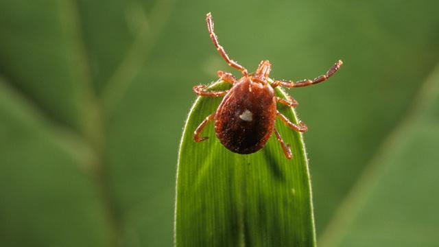 Tüm Dünyanın Konuştuğu Böcek! Cb_lone_star_tick_ll_120620_wmain