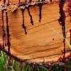 Bu Ağaç Kesildiği Zaman Kanıyor! Üstelik Kanı Birçok Derde Deva