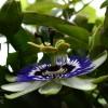 Çarkıfelek Çiçeğinin Sırrını Biliyor Musunuz?