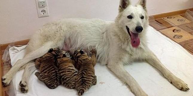 Kaplan Yavrusuna Annelik Yapıyor…