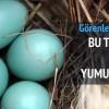 Kuyruksuz horozun mavi yumurtaları!